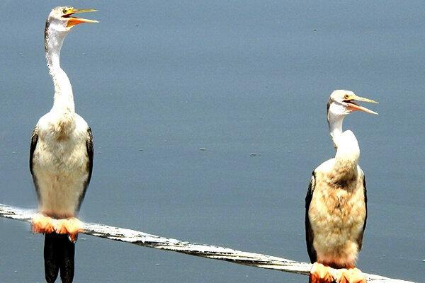 ثبت جوجه آوری پرنده باکلان مارگردن در خاورمیانه توسط یک محیط بان