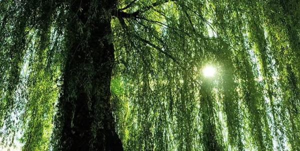محققان: گرده درختان می تواند ویروس کرونا را پخش کند